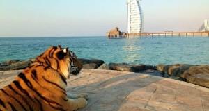 حتى النمر يستمتع بمشاهدة دبي